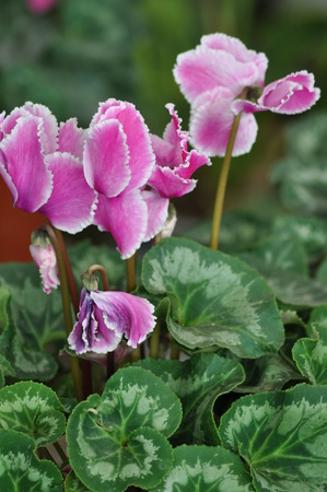 cyclamen: Cyclamen persicum Stock Photo