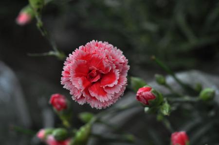 carnations: Carnations