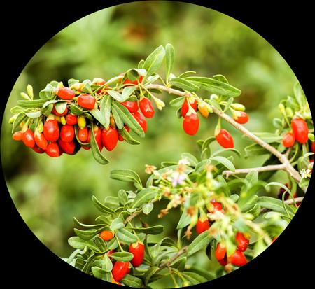 chinese wolfberry: Chinese wolfberry