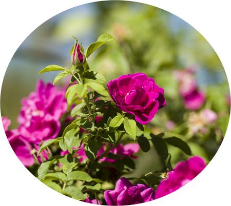 rosa: Rosa rugosa