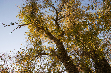 poplar: poplar tree Stock Photo