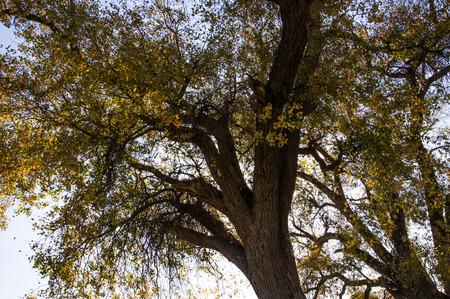 arbol alamo: �rbol del �lamo