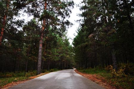 pinus sylvestris: forest