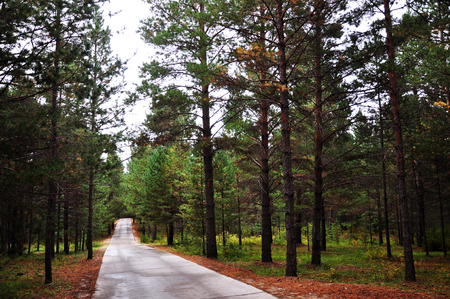 pinus sylvestris: Pine forest Stock Photo