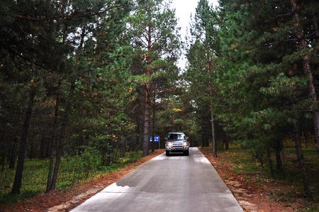 pinus sylvestris: Pine forest Editorial