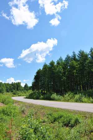 pine forest with road