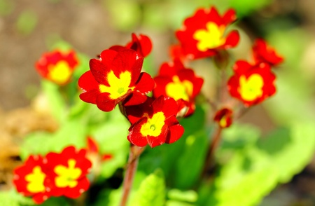 Blossoming red primula