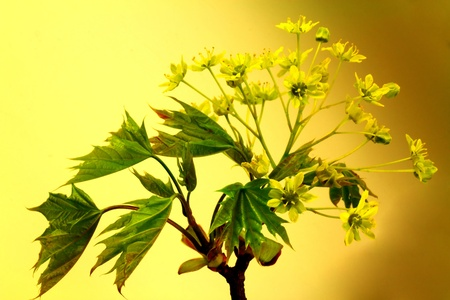 Branch of flowering maple Stock Photo