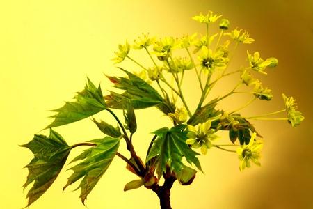 Branch virágzás juhar
