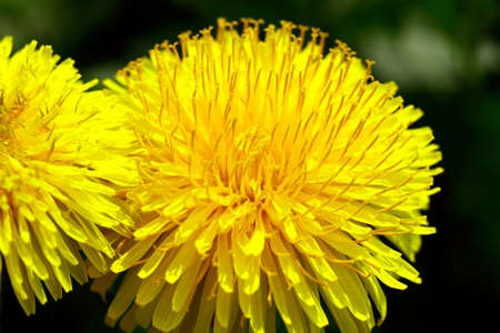 Dandelion on a Spring sunny day
