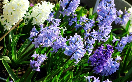Plantation of white and lilac crocuses Stock Photo
