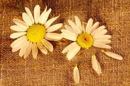 Two camomiles on the linen cloth Stock Photo