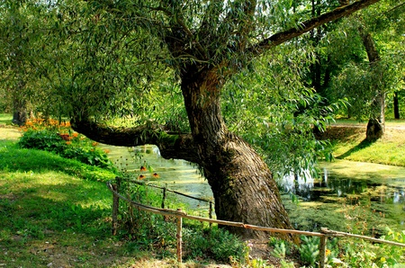 An old tree and a pond on a Summer day photo