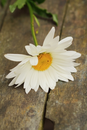 Beautiful camomile flower Stock Photo - 14301088