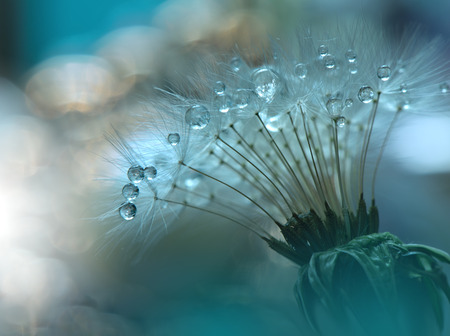 Abstract macro photo with dandelion and water drops.Artistic Background for desktop. Flowers made with pastel tones.Tranquil abstract closeup art photography.Print for Wallpaper...Floral fantasy design...