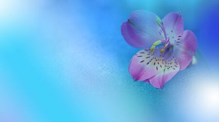Beautiful Blue Nature Background.Macro Photo of Amazing Spring  Flowers.Border Art Design.Magic light.Extreme close up Photography.Conceptual Abstract Image.Fantasy Floral Art.Copy Space.