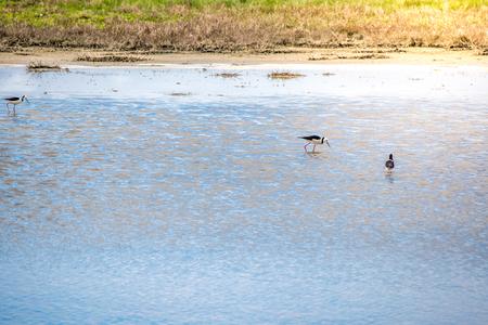 Seasonal rare birds visiting the Miranda coast bird sanctuary , North Island New Zealand Imagens