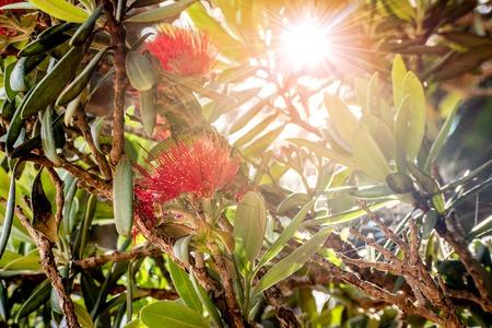 A beautiful photo of a pohutukawa tree with the sun behind