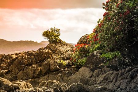 A beautiful photo of a pohutukawa tree hanging over the rocks Imagens