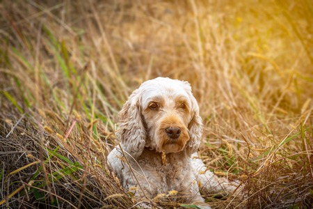 A cute spoodle resting in the grass after a long walk