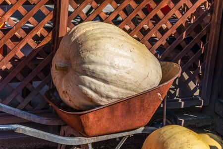A picture of a very large pumkin in a being delivered to market