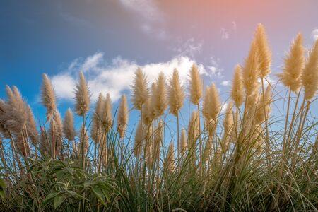 Toe Toe native New Zealand grass North Island Imagens