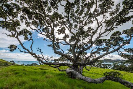 A beatiful photo of a large Pohutukawa tree Imagens