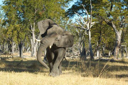 Elephant in Chobe National Park, Botswana Stock Photo