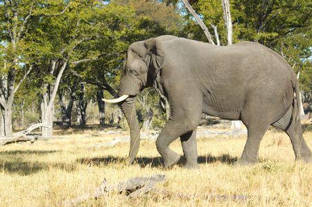 Elephant in Chobe National Park, Botswana Stock Photo - 2528341