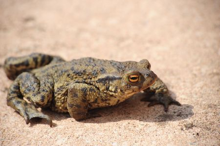 A single toad walking on a path