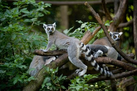 A  of Ring-tailed Lemurs in the forest