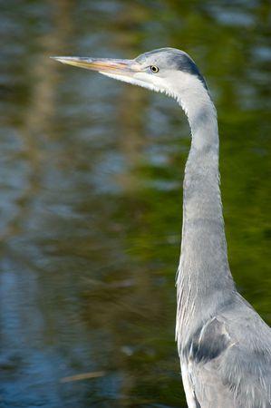 A heron fishing in a lake photo