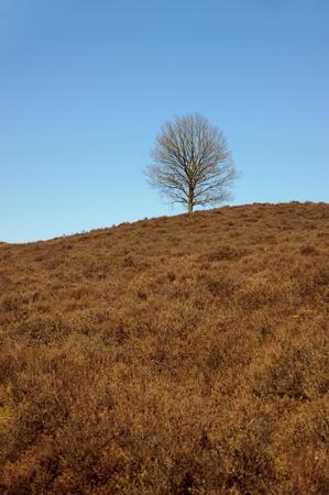 heathland: Lonely barren tree in early spring in brown heathland Stock Photo