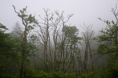 arboles secos: Bosque de �rboles muertos en la niebla