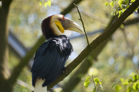 undulatus: Wreathed Hornbill sitting on a branch
