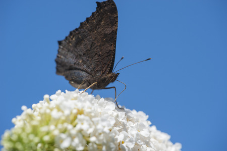 admiral: Red Admiral butterfly drinking from a white butterfly-bush against a clear blue sky
