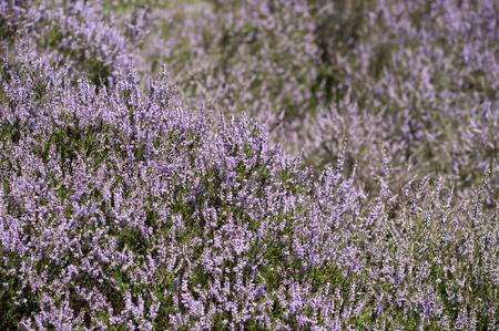 moor: Field of purple moor flowers