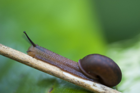 Closeup of a snail against a green background