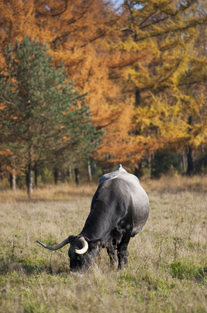 A cow with long horns grazing in a meadow next to a forest in autumn colors Stock Photo