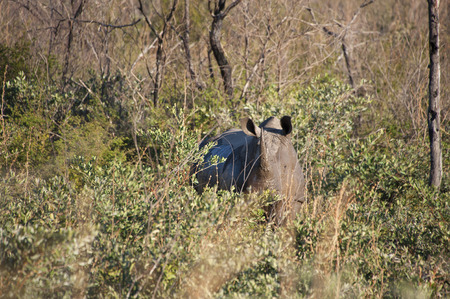 A rhino covered in mud hiding in the bushes in Africa