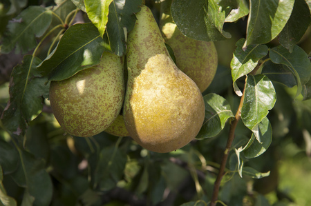 Tree with fresh green pears Stock Photo