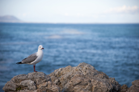 Sea gull standing on a rock in front of the blue sea Stock Photo