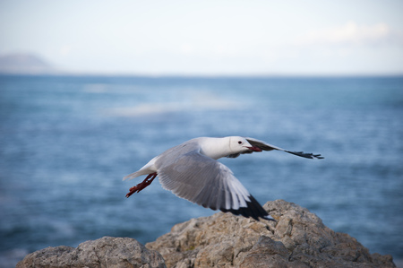 Sea gull flying over a rock in front of the blue sea Stock Photo