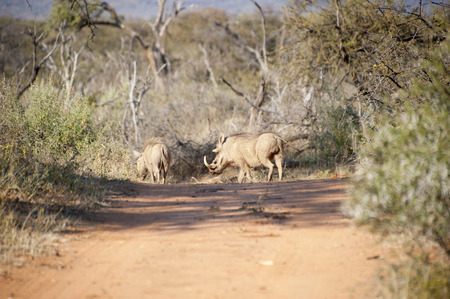 Family of warthogs walking across the sand road in Kruger National Park, South Africa Reklamní fotografie