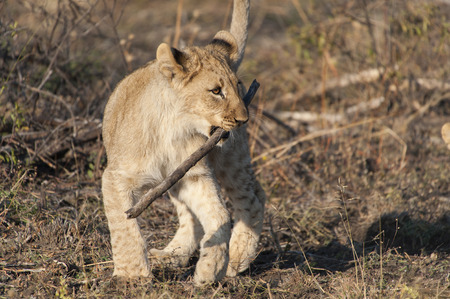 A lion cub playing with stick in Kruger National Park, South Africa Stock Photo