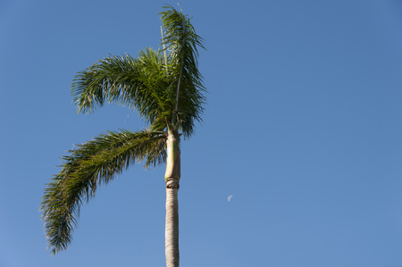Single green palm tree with moon and blue sky