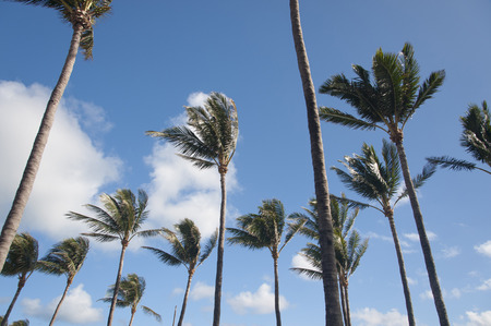 Lot of tall palm trees waving in strong wind with a blue sky Stock Photo