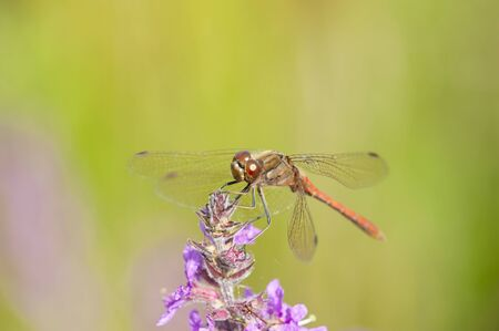 A red dragonfly resting on a purple flower with a green background