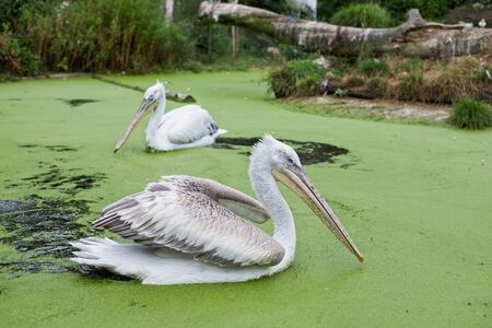 Two pelicans swimming on a duckweed infested river