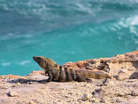 Lizard on rock near ocean, Isla Mujeres Stock Photo